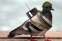 war-pigeon